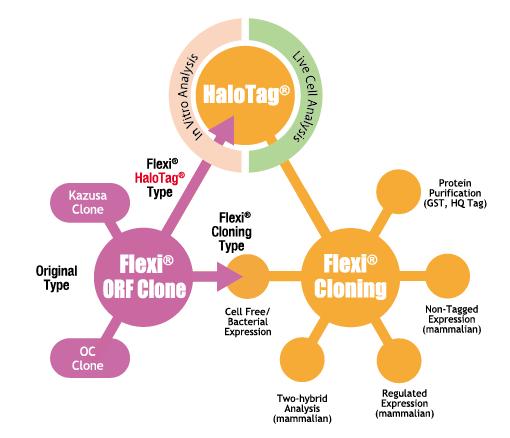 HaloTag FlexiORFClone FlexiCloning